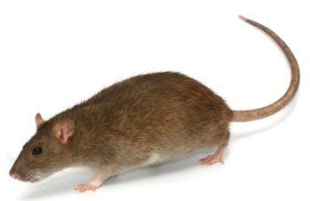 Norway RAT rodent control