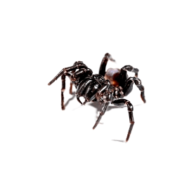funnel web spider control