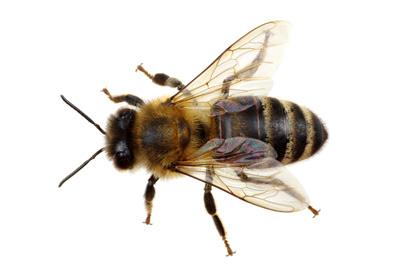 European Feral Bee