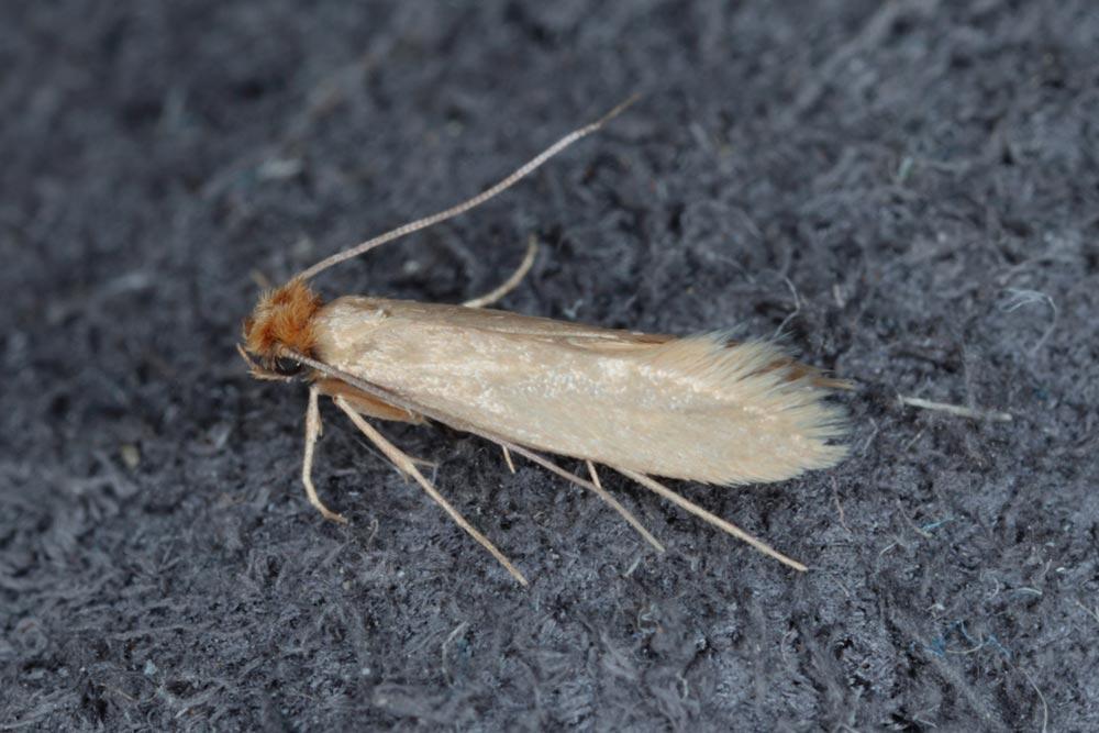 Cloth moth