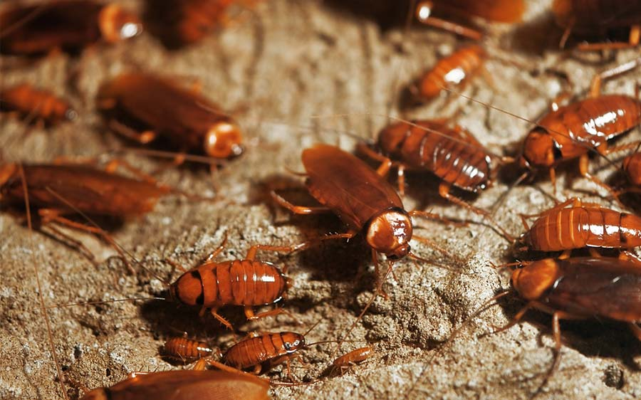 Everything You Need to Know About Cockroaches