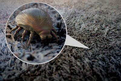 Dust Mites in Carpet