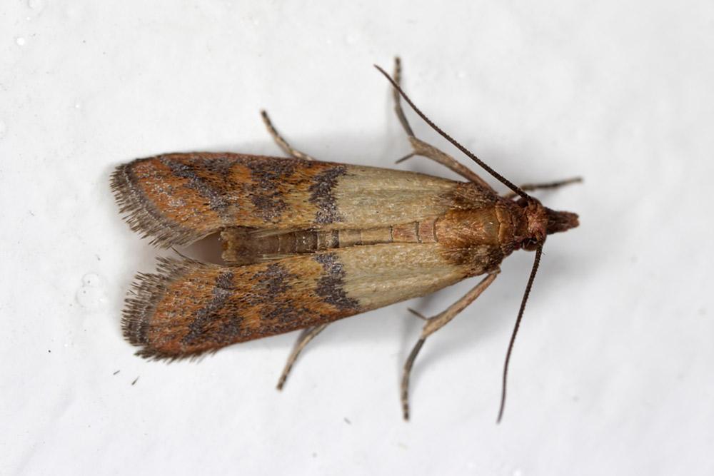 Pantry Moth aka Indian Meal Moth