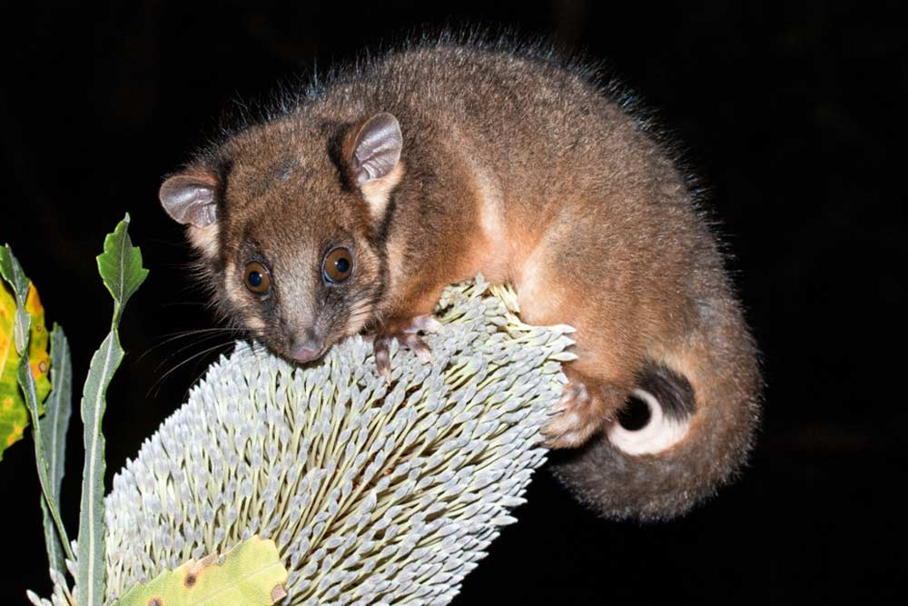 Ring Tail Possum