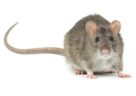 rodent rat control
