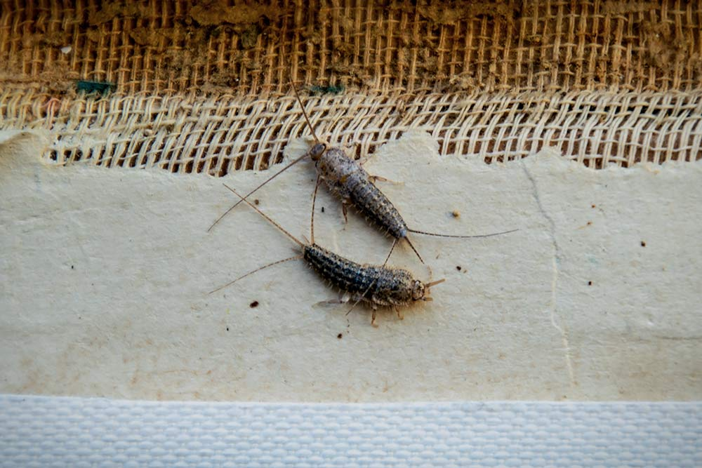 Silverfish on a Book